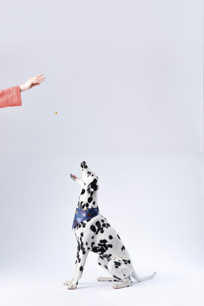 dalmatian eating treat